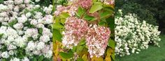 - syyshortensia - Hydrangea paniculata 'Grandiflora'