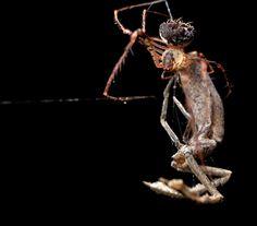 https://flic.kr/p/xyHChd | Pirate spider (Mimetidae) with sprey (Miagrammopes) (2) | Photo from Udzungwa national park, Tanzania.