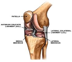 acl muscles - Google Search