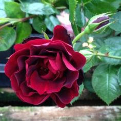 AC Navy Lady - Hardiness Zone: 4 Approximate Size: 2' to 3' tall by 3' to 4' wide Bloom Type: Large, Semi-Double Color: Wine Red Bloom Repeat: Good Fragrance: Light