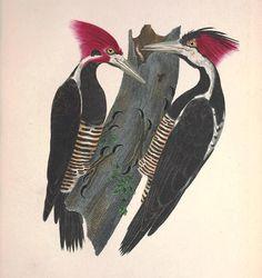 Pica-paus (Picus albirostris).  Johann Baptist von Spix (1781-1826). Avium Species Novae, 1825.