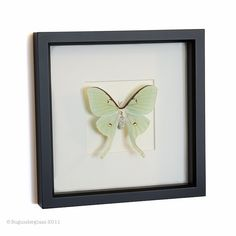 Real Luna Moth Framed Insect by BugUnderGlass on Etsy, $62.00
