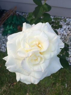 Our rose