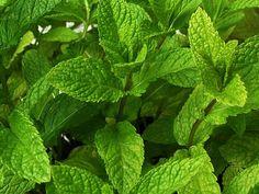 L'hydrolat de menthe poivrée