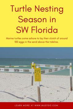 Information about sea turtle nesting season on the beaches in Sarasota, Siesta Key, Lido Key, Longboat Key, Venice, Fort Myers Beach, Sanibel, Captiva Naples, and Marco Island Florida. Must Do Visitor Guides, MustDo.com