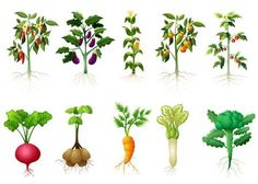 vegetable pictures at DuckDuckGo Science For Kids, Activities For Kids, Vegetable Design, Vegetable Ideas, Roots Drawing, Vegetable Pictures, Vegetable Illustration, Root Vegetables, Arte Floral
