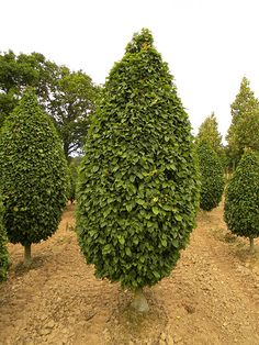 Carpinus betulus (grab pospolity) 'Columnaris' Cottage, Plants, Garden, Tree, Spring