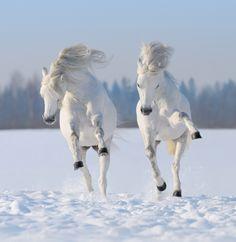 White horses galloping on the white snow
