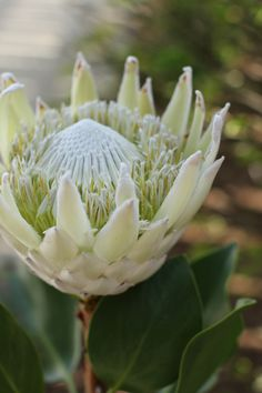 Inspiration for wedding flowers. Proteas are a great flower to include in your bridal bouquet and centerpieces. Unusual Flowers, White Flowers, Beautiful Flowers, Australian Native Flowers, Australian Plants, Protea Flower, King Protea, Mediterranean Garden, Desert Plants