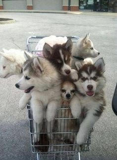 A shopping cart full of huskies on their way to the husky convention.