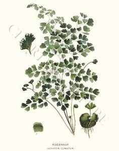 Maidenhair Fern Giclee from Charting Nature: $34.95