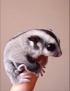 Sugar glider on a finger - Sugar gliders are so cool!