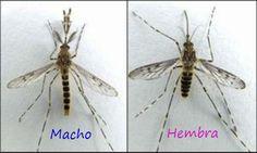 ¿Sabías que solo pican los mosquitos hembra? | Planeta Curioso