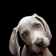 Weimaraner... IF I was ever to get a puppy, THIS is what I'd get. But I'm allergic so, I can dream right?!?! :)