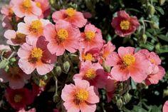 Helianthemum 'Pink Sunrose' - 30 x 60 - Plant Growers Australia Pty Ltd Australia, Flowers, Plants, Pink, Plant, Royal Icing Flowers, Pink Hair, Flower, Florals