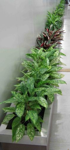 Ornamental Plants Pictures With Names In The Philippines