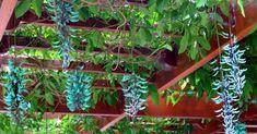Estou encantada com a maravilha da Flor de Jade... Um dia farei um pergolado num corredor largo da minha casa e certamente provide...
