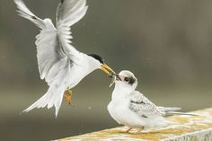 A California least tern feeds a growing chick