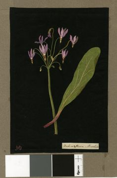 Dodecatheon Meadia (Pentandria Monogynia), from an album (Vol.III, 90). 1775 Collage of coloured papers, with bodycolour and watercolour, on black ink background, Mary Delany (1700-1788)