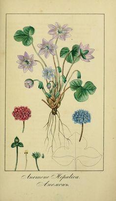 pt.1-2 - Vseobshchaia flora dlia liubitelei / - Biodiversity Heritage Library