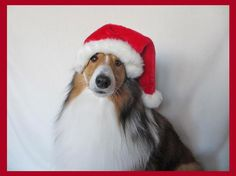 Sheltie in a Santa Hat