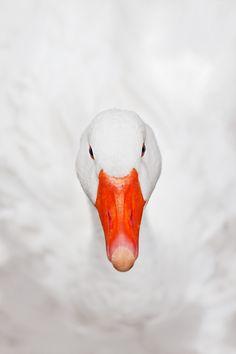SNOW · WHITE · <3 · GOOSE · DOUCEUR · OISEAU · BLANC · NEIGE · BEC