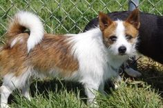 Angel is an adoptable Terrier Dog in Elyria, OH. My name is Angel and I'm very pleased to meet you. I'm a shy quiet terrier mix that's 2 years old. I was surrendered to the shelter with my buddy Spark...