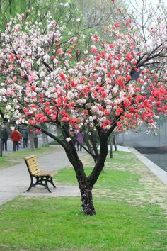 Pink peach blossoms at West Lake in Hangzhou, Chin