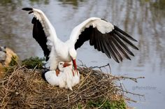 Coupling of black storks #ciconia #cicogna #uccello #bird #white #stork #bianca #uccello #bird #birdwatching #coupling #accoppiamento #male #female #maschio #femmina #nido #nest #garzaia #lake #lago #natura #nature #wings #ali  #photo #photography #fliiby #images #yyazilim #people #nature