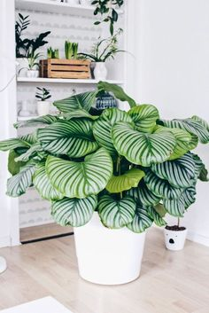 Calathea im Blumentopf weiß - # Calatheain Blumentopf weiß - Zimmer Pflanzen - Jardinería Potted Plants, Indoor Plants, Foliage Plants, Indoor Herbs, Tomato Plants, Indoor Gardening, Cactus Plants, Plant Design, Garden Design