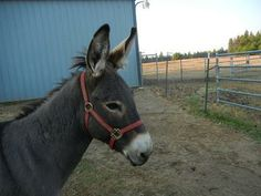 Sponsor A Donkey.     Courtesy:  Lavender Dreams Farm & Donkey Rescue, Spokane, Washington (USA).