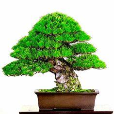 Pine Bonsai, Bonsai Trees, Ikebana, House Plants, Garden Design, Gardening, Landscape, Shoes, Women