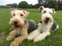 Lakeland Terrier & Wire  Fox Terrier.  These two look exactly like my Etta and my Eartha