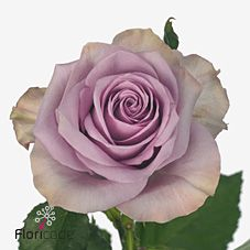 Nightingale Roses - 2018 Wedding Trend: Ultra Violet Purple. For lilac and purple wedding flowers to suit your colour scheme, visit our website at www.trianglenursery.co.uk/fresh-flowers!