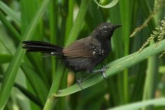 bicudinho-do-brejo-paulista_Formicivora paludicola_Brazilian Birds