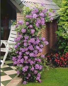 Cheap seed flower, Buy Quality flowering vines seeds directly from China seeds flowering plants Suppliers: Purple fairy garden Climbing Roses bloom over time 200 flower seeds Outdoor Plants, Garden Plants, Outdoor Gardens, Beautiful Gardens, Beautiful Flowers, Pretty Roses, Growing Roses, Blooming Rose, Blooming Plants