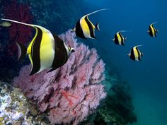 Moorish Idol    http://www.buzzfeed.com/tanked/the-most-beautiful-fish-in-the-world