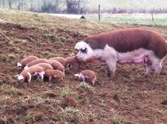 Hereford Pigs | Meet Your Meat: Hereford Hogs