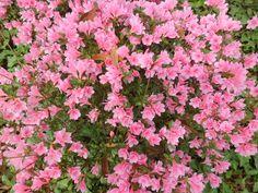 Tiny pink cluster azaleas in bloom