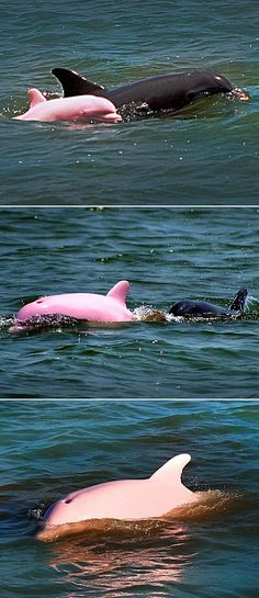 dauphin rose et un noir / Pink Dolphin October 2012 -According to NOAA, there have only been 14 recorded sightings of albino Bottlenose Dolphins throughout the world, since the first reported sighting in All Gods Creatures, Sea Creatures, Orcas, Beautiful Creatures, Animals Beautiful, Unusual Animals, Majestic Animals, Dauphin Rose, Funny Animals