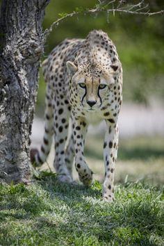 cheetah-chaser: Cheetah bySanji-