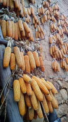Corn, Yunnan, China