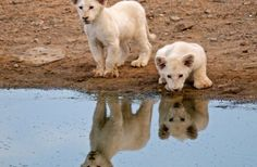 White Lion Lodge - South Africa Starts from The rates are quoted per…