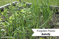"""Forgotten plants: Once prolific in the kitchen garden's of our ancestors, but now so rare that the average person might never have even heard of them. Many of these deserve to find space in our gardens again! This is the fourth post in the series: Salsify. This is where my """"forgotten plant"""" adventure began.   TraditionalCookingSchool.com"""