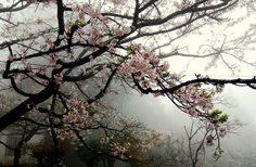 Blossom Alishan Township, Chiayi County, Taiwan. photo by William Lai
