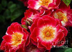 Rosas Arte - Wild Rose por Robert Bales