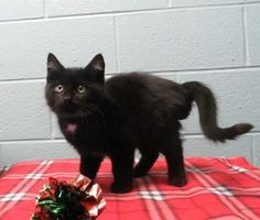 A287871 is an adoptable Domestic Short Hair Cat in Clinton Township, MI ...Read more about me on @petfinder.com
