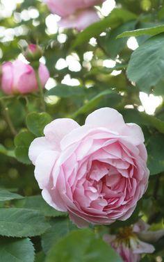 Austin rose 'Constance Spry'