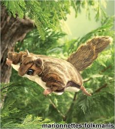 Folkmanis Puppet Flying Squirrel by Folkmanis. Save 24 Off!. $12.19. There are forty-two species of flying squirrel, found mostly in Asia and Europe, with two species in North America.. Flying squirrels are nocturnal. Their big eyes are well adapted to night vision. One of the favorite foods these omnivores search for in the dark is the truffle, a mushroom delicacy.. Flying squirrels do not really fly, but glide after leaping from trees, usually for 20 to 75 feet, but sometimes ...