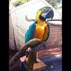 Captain Jack the Naughty Parrot! #instagram #instapet #parrot #petstagram by michikotanadi http://www.australiaunwrapped.com/